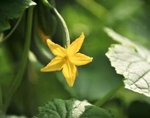 komkommer-plant